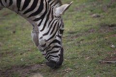 Zebra (Equus quagga) Royalty Free Stock Photo