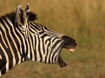 Zebra Yawn Stock Photo