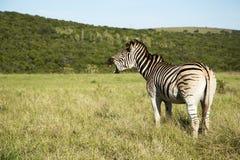 Zebra Yawning Stock Image