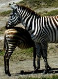 Zebra with young Stock Photography