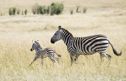 Zebra and Young. A young zebra runs in front of a parent through the long grasses Royalty Free Stock Photography