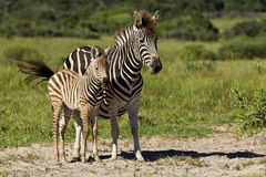 Zebra and young stock photo