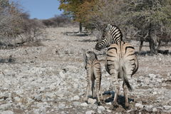 Zebra and young Royalty Free Stock Image