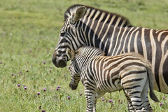 Zebra and young Stock Images