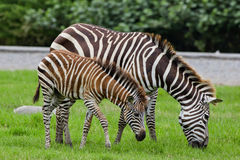 Zebra with young one stock photography