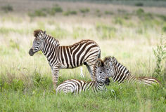 Zebra youth brigade Stock Photo