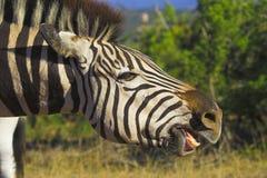 Zebra-Zähne Stockfoto