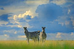 Zebra z błękitnym burzy niebem Burchell ` s zebra, Equus kwaga burchellii, Nxai niecki park narodowy, Botswana, Afryka Dzikie zwi Fotografia Stock