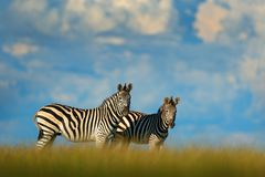 Zebra z błękitnym burzy niebem Burchell ` s zebra, Equus kwaga burchellii, Nxai niecki park narodowy, Botswana, Afryka Dzikie zwi Obraz Royalty Free