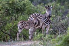 Zebra z dzieckiem Zdjęcie Stock