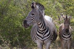Zebra z dzieckiem Obraz Stock