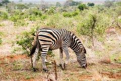 Zebra z małym ptakiem na swój plecy Zdjęcie Royalty Free