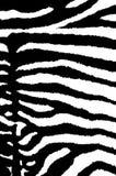 zebra zamazana Zdjęcie Royalty Free