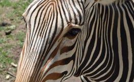 Zebra Zamknięta up w słońcu Zdjęcie Royalty Free
