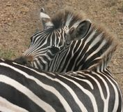 Zebra. At an animal park Royalty Free Stock Images