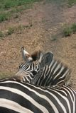 Zebra. At an axial park Royalty Free Stock Images