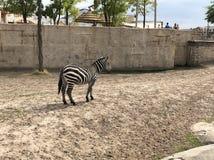 Zebra. Zoo Wildlands royalty free stock images