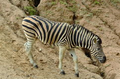 Zebra. S are descended from the mound Stock Photos
