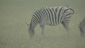 Zebra zebras in the field. Slow motion. Stock video footage HD / 1920-1080 / MOV / Codec H.264 / 25 fps stock footage