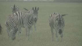 Zebra zebras in the field. Slow motion. Stock video footage HD / 1920-1080 / MOV / Codec H.264 / 25 fps stock video