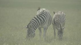 Zebra zebras in the field. Slow motion. Stock video footage HD / 1920-1080 / MOV / Codec H.264 / 25 fps stock video footage