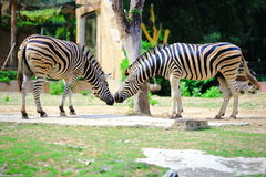 Zebra. S are several species of African equids (horse family) united by their distinctive black and white striped coats. Their stripes come in different patterns Royalty Free Stock Images