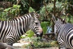 Zebra. 2 Zebras in Singapore zoo Stock Photos
