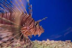 zebra, zebry ryba lub pasiasty lionfish lat, Pterois volitans są ryba skorpion rodzina zdjęcie stock