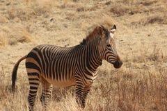 Zebra. Zerba standing alone in the field outside of Johannesburg Royalty Free Stock Photo