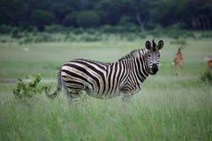 Zebra in Zimbabwe, Hwange National Park with Antelope Impala. Staring at the Camera. Grassy Safari. February 2016 stock photo