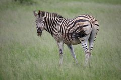 Zebra in Zimbabwe, Hwange National Park with Attitude, Teeth and Tail. Looking into Camera with a Smile royalty free stock images