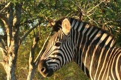 Zebra in zonlicht Stock Afbeeldingen