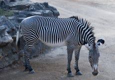 Zebra in a zoo Royalty Free Stock Photo