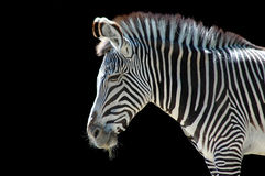 Zebra at the Zoo Royalty Free Stock Photos