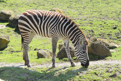 Zebra in zoo Stock Images