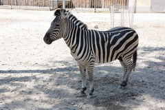 Zebra in zoo Royalty Free Stock Photo