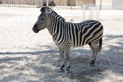 Zebra in zoo. Image of young zebra in zoo Royalty Free Stock Photo