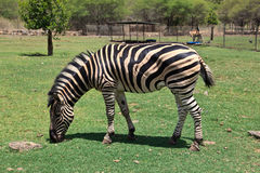 Zebra in the Zoo Royalty Free Stock Images