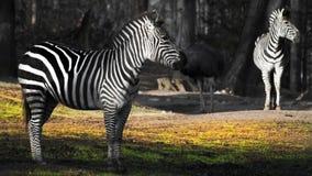 Zebra Zoo Stock Photos