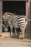 Zebra at the zoo Stock Photos