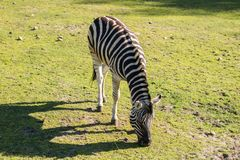 Zebra in the zoo. An African animal locked in a cage. Season of the spring stock photography