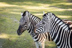 Zebra in the zoo. An African animal locked in a cage. Season of the spring stock photo