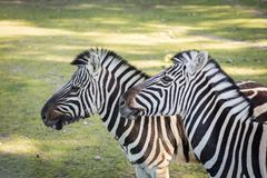 Zebra in the zoo. An African animal locked in a cage. Season of the spring stock images