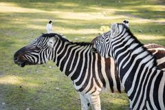 Zebra in the zoo. An African animal locked in a cage. Season of the spring royalty free stock photos