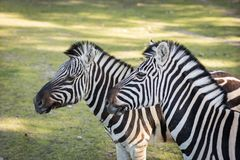 Zebra in the zoo. An African animal locked in a cage. Season of the spring royalty free stock image