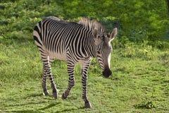 Zebra in zoo Stock Photos