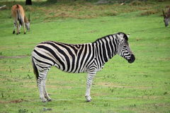 Zebra. In a zoo of Australia Royalty Free Stock Images