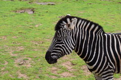 Zebra. In a zoo of Australia Stock Photos