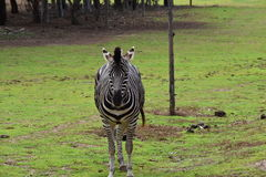 Zebra. In a zoo of Australia Royalty Free Stock Image