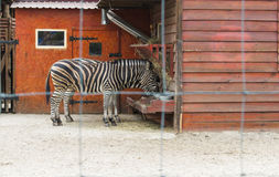 Zebra in the zoo cage. Zebra in the cage of the zoo eats Royalty Free Stock Photography